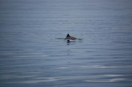 Delfin med unge